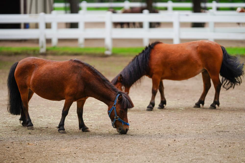 ミニチュアホースとはどんな馬?ぬいぐるみみたいに可愛い!