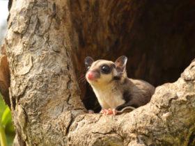 フクロモモンガがペットとして人気到来?新たに注目される癒しの小動物
