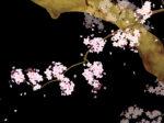 「桜が降る夜は」あいみょんの歌詞の意味と曲から贈られるメッセージ